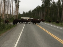 Bison continuing to cross after we passed