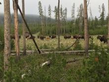 Bison's final destination