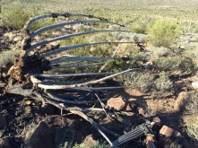 Dead Organ Pipe Cactus