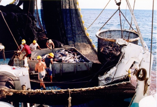 Brailer bringing another load of fish to the hopper