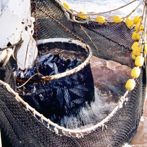 Brailer scooping fish out of the net