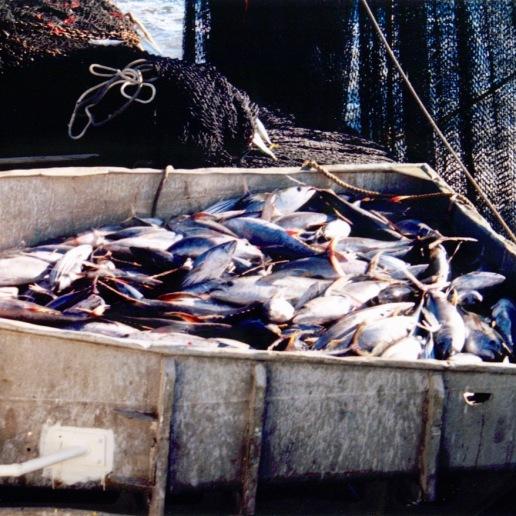 Tuna in the hopper