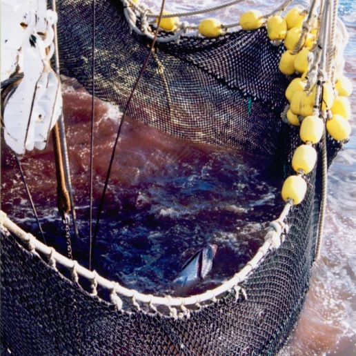 Tuna in the net ready to be scooped out