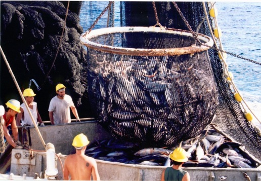 Bringing tuna from the net into the hopper, where the crew discards unwanted fish and ensures the good fish go down the chute to the holds