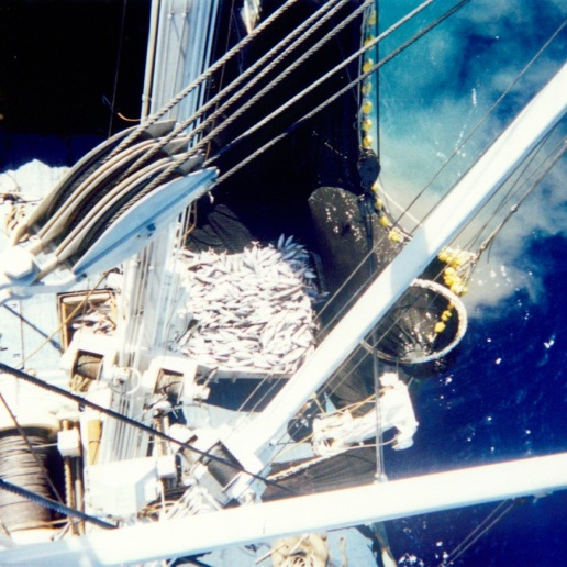 Bringing fish in from the net as viewed from the Auro's crow's nest