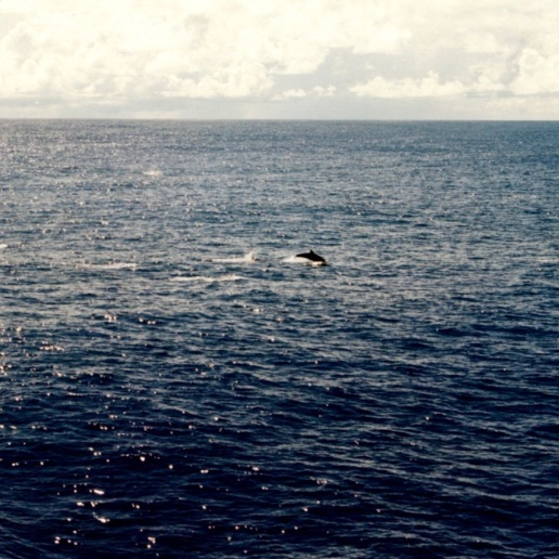 Dolphins playing around the Auro