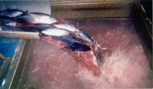 Tuna coming down the chute from topside, into the current hold being filled where they will be frozen