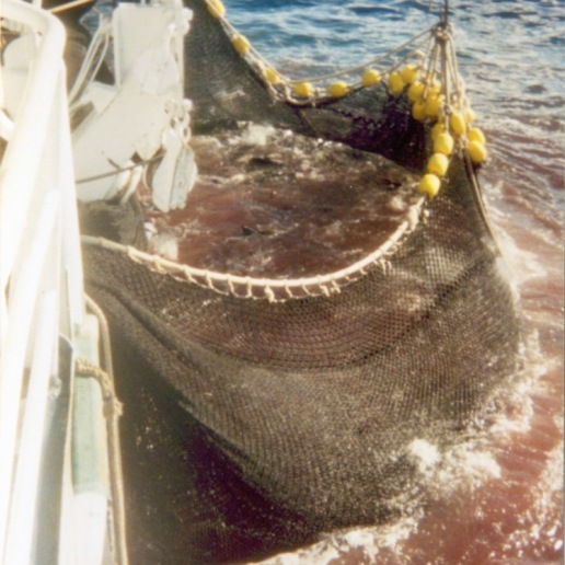 Tons of fish inside the net (which has been brought in so that the fish can be scooped out