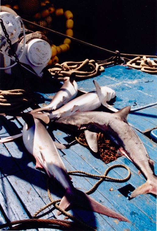 Sharks sometimes were byproducts of the catch